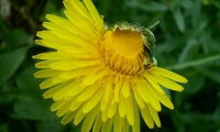 Blume noch im Werden